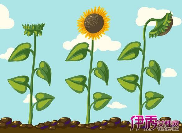 【图】手绘向日葵生长图片汇总 画向日葵的方法介绍