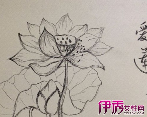 【图】荷花素描简笔画欣赏