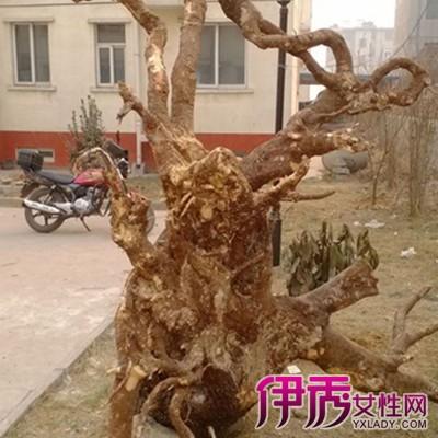 什么树根适合做根雕 其质坚几乎接近化石更是根艺的佳材