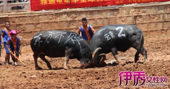 【图】云南石林斗牛扣人心弦 观众欢呼声此起彼伏