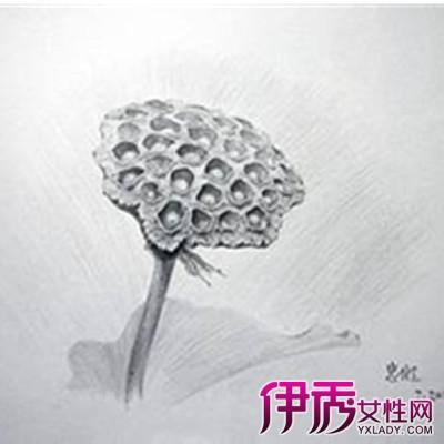 【荷花画法素描铅笔画】【图】荷花画法素描铅笔画