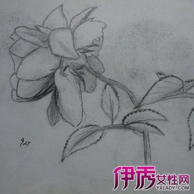 月季花素描画法详解 介绍如何勾勒完美茎叶图片