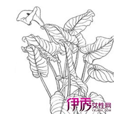 欣赏马蹄莲简笔画 盘点其不同颜色的花语