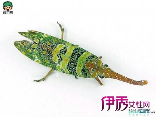昆虫标本手工制作的方法 龙眼鸡标本
