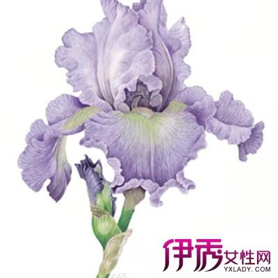 【图】欣赏鸢尾的手绘图片 鸢尾又名蓝蝴蝶且可制成香水