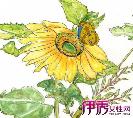 【手绘向日葵】【图】手绘向日葵图