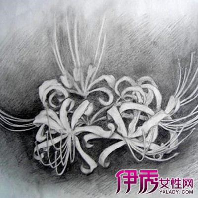 【手绘彼岸花花朵素描】【图】手绘彼岸花花朵素描