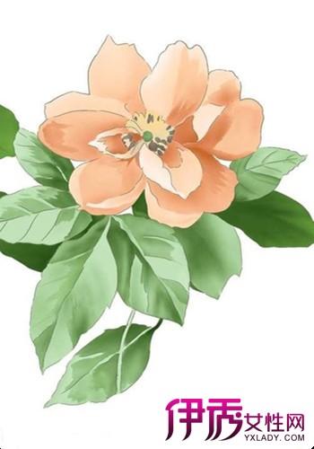 【图】美丽的山茶花手绘图欣赏
