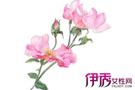 【山茶花手绘】【图】美丽的山茶花手绘图欣赏