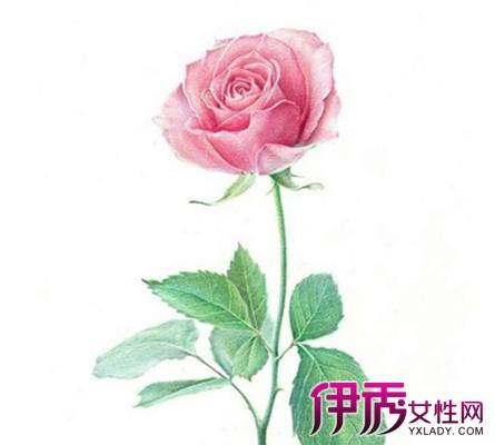 彩铅画玫瑰花简笔画 宁静的手绘时光图片