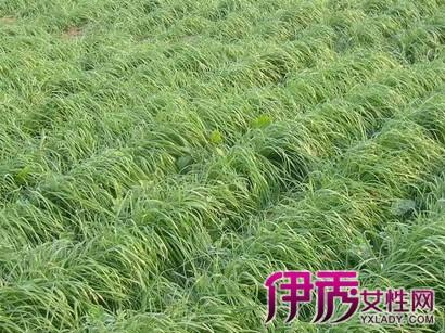 大穗耳稃草