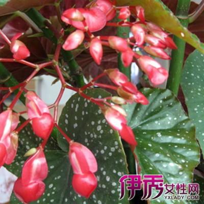 【图】展示盆栽大叶海棠花图片 了解5个栽培技术