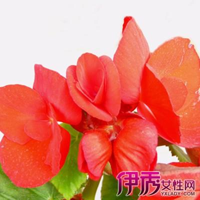 大叶海棠为秋海棠科秋海棠属四季海棠的栽培变种