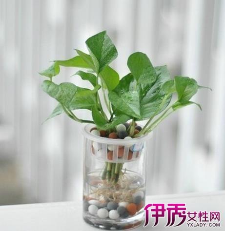 【在家种什么植物可以养在水里】【图】在家种
