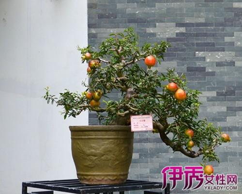 【图】石榴的盆栽的方法是什么 7大步骤助你种出美美的盆栽
