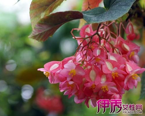 【图】盆栽大叶海棠图片 既能观赏又能入菜