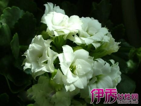 【图】长寿花品种鉴别图谱