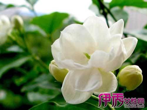 有香味的花有哪些_可与兰花一比香味的花其他花卉中国兰花交易