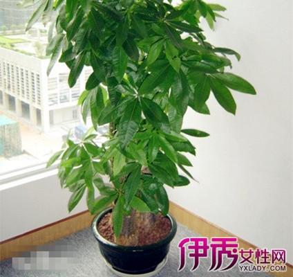 【盆栽铜钱树】【图】盆栽铜钱树怎么养