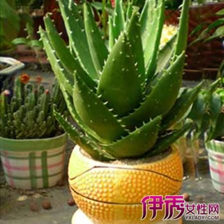 介绍芦荟的品种和3大主要
