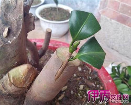 茶花嫁接用砧木 茶花嫁接的4个方法