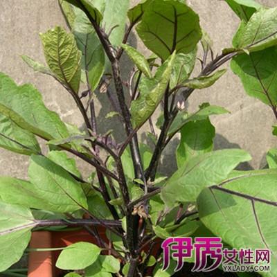 【图】茄子叶子图片欣赏 从两大方面介绍茄子的主要价值