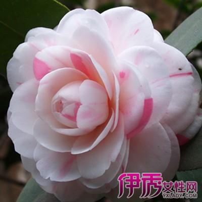 【图】山茶花花语是什么呢?