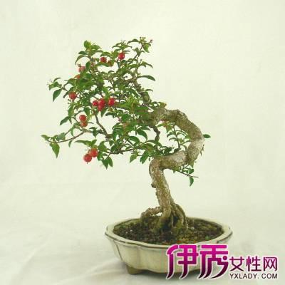 盆栽樱桃怎么种植 3分钟科普教你种出美美的盆栽樱桃图片