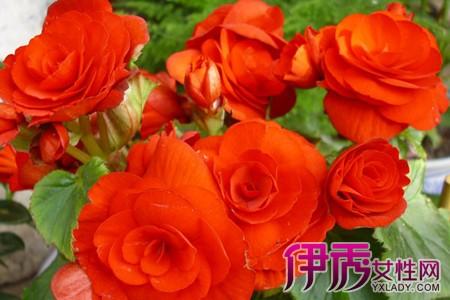 美丽的玫瑰海棠图欣赏 揭秘种植玫瑰海棠的方法
