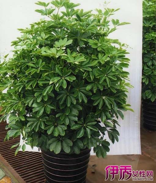 【室内大型盆栽植物】【图】青葱的室内大型盆栽植物