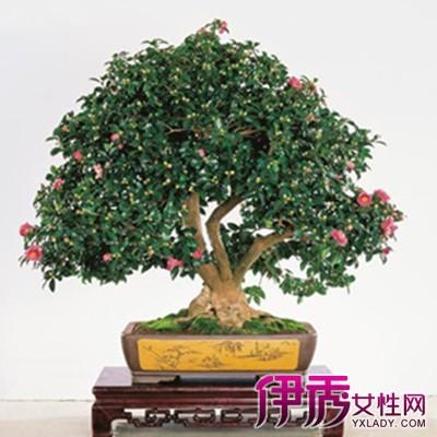 盆栽茶花图片大全 茶花的3大栽培技巧揭秘