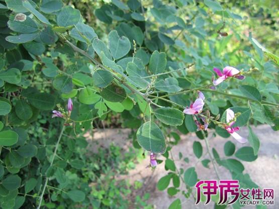 【图】豆科植物有哪些 3种豆科物种亚科介绍