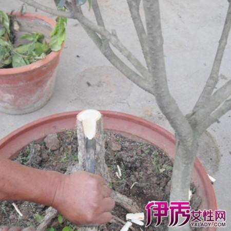【图】分享桂花嫁接技术图解 小编教你桂花繁殖方法