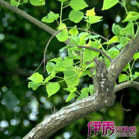 【乌木树叶图片】【图】乌木树叶图片展示