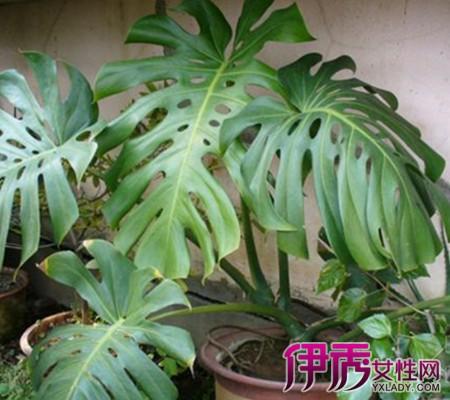 【图】看大叶子盆栽植物图片 为你介绍其中的三种植物