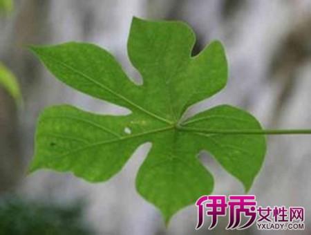 【图】唯美的梧桐树的叶子像什么 呈手掌型惟妙惟肖引人注目