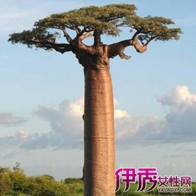 【图】猴面包树图片大全大放送 猴面包树3大价值是什么