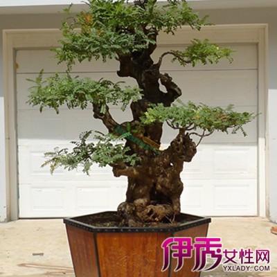 【图】清香木盆景制作图片欣赏