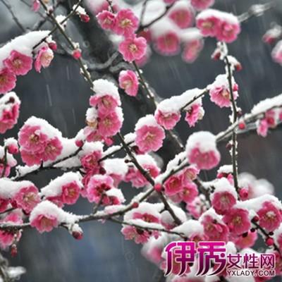 【梅花雪景图片】【图】梅花雪景图片欣赏