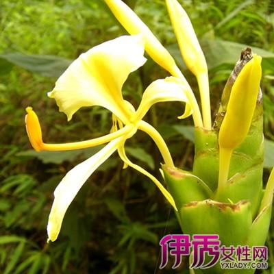 【木姜花】【图】木姜花的形态特征