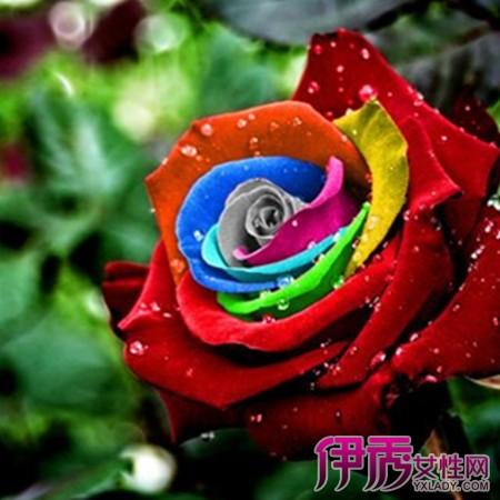 【图】彩色玫瑰花图片欣赏 小编教你玫瑰的栽培技术
