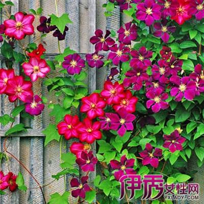 【图】展示藤蔓植物名称及图片 介绍藤蔓的几个品种