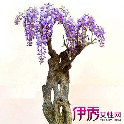 紫藤盆景图片欣赏 手把手教你如何栽培紫藤