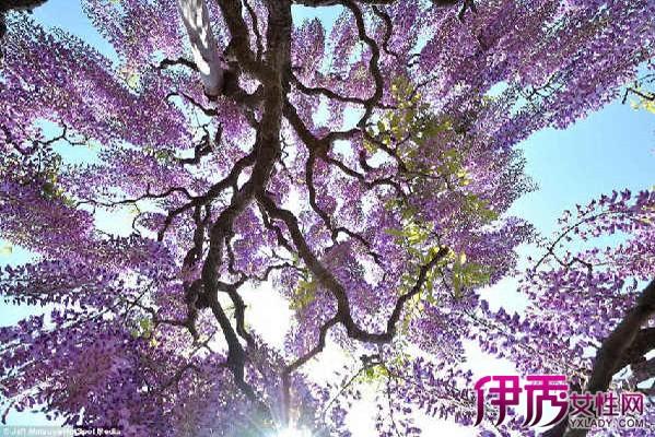 【图】紫藤树图片大全 展示植物的颜色美