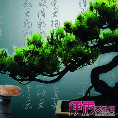 【图】松树盆栽好养吗? 大师为你支招——盆栽速成法