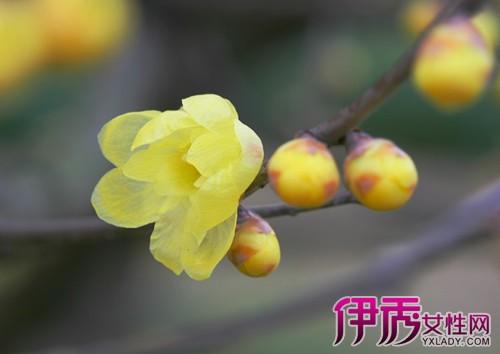 【图】腊梅图片大全 欣赏冬日里坚强生长的一株花