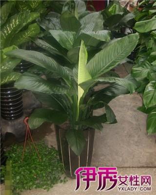 【图】大叶绿植盆栽介绍与种植 绿巨人观赏价值有哪些