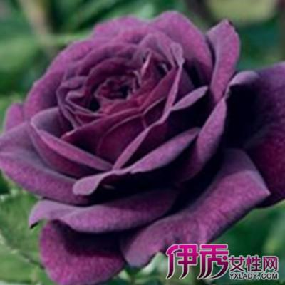 【图】紫色真玫瑰花图片大全 5大方法教你如何栽培玫瑰