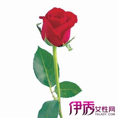 一朵玫瑰花图片欣赏 告诉你玫瑰花的4大价值