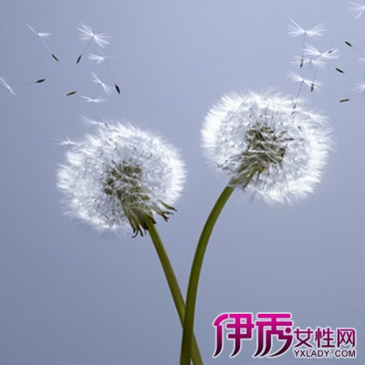 【蒲公英开花时间】【图】解读蒲公英开花时间